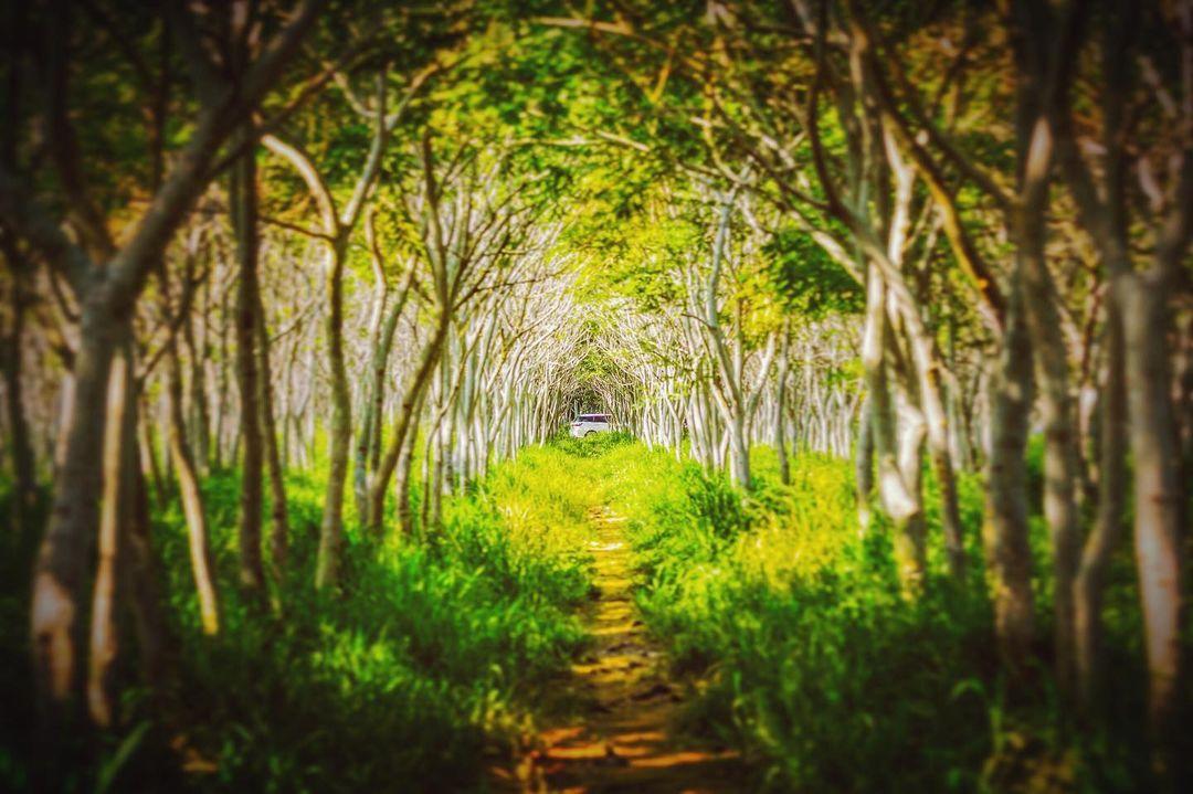 龍貓隧道不只台中有!漫步浪漫樹海拍出夢幻美照 來一趟奇幻森林小旅行吧